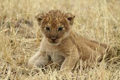 A lion cub rests at Tanzania's Serengeti National Park.