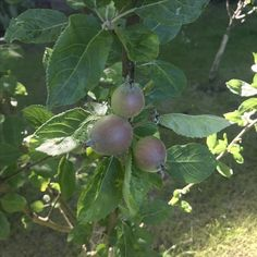 The pears are coming...