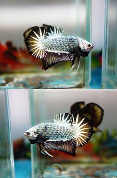 Beautiful #Betta #plakat Betta Aquarium, Fish Aquariums, Dragon Star, Tropical Fish Tanks, Cool Fish, Beta Fish, Siamese Fighting Fish, Fish Ponds, Beautiful Fish