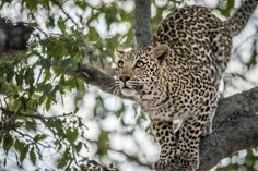 Leopard getting ready to jump in the Kruger National Park, South Africa.  #Leopard #Africa #Kruger #Wildlife #Animal #Cat #Bigcat #Panthera #SouthAfrica #Pantherapardus #Wildanimal #Wild