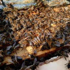Wax moths rarely infest healthy beehives, but they can cause damage to untended combs.