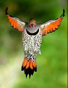 Flying bird with orange feathers