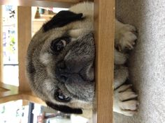 """Pug """"Dori"""" ...My Chloe loves to rest her chin on everything too! awwww"""