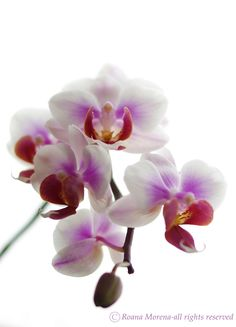 Orchidea is my daughter's favorite flower