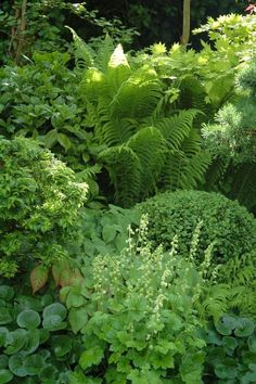 Shade garden with hosta, ferns, lady's mantle, boxwood, and wild ginger.