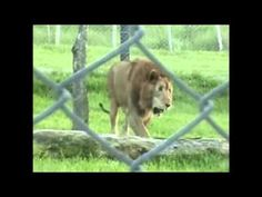 Watch Ex-Circus Lion Experience Feel of Grass for First Time