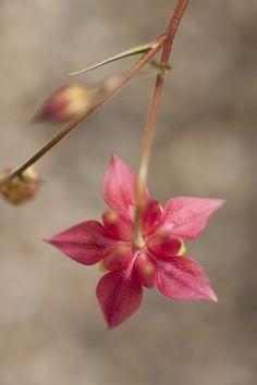 Columbine (Aquilegia canadensis 'Little Lanterns') in the Native Plant Garden