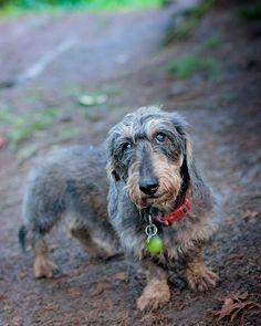 Ellie Portrait 2 - Ellie the Wired Hair Dachshund at Beaver Lake by Gord Rufh Victoria BC Dog Photographer.