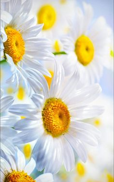 62 New Ideas Wallpaper Flores Gerberas Happy Flowers, Pretty Flowers, Sunflowers And Daisies, Foto Poster, Daisy Love, Flower Pictures, Flower Wallpaper, Amazing Flowers, Belle Photo