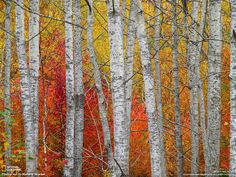 Photo and caption by Marlene Grueber. Autumn in Michigan is a visual treat. This clump of paper birch trunks was backlit by a blaze of reds and yellows. Near Charlevoix, Michigan.
