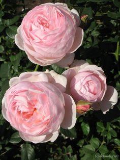 Heritage | English  Rose