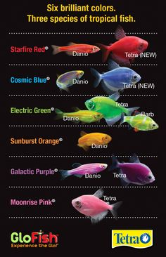There are six Brilliant colors of GloFish® to choose from. Which is your favorite?  #glofish  #tetra #myfavoritefish