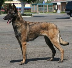 Belgium Malinois, Belgian Malinois Dog, Belgian Shepherd, Big Dogs, Beautiful Dogs, Mans Best Friend, Cute Animals, Animal Anatomy, Awesome Dogs