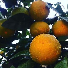 #mothernature #secrets #plants 🍊#agrumes #tangerine #fruite #rawfood #sweet #healthyfood #nature #love #croatia #iphoneography