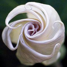 ✯ Angel Trumpet Blooms
