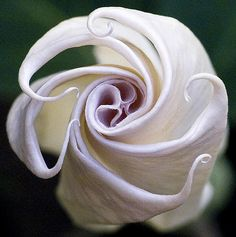 ~~ Angel Trumpet Blooms ~~