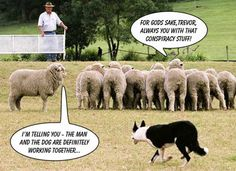 That most dangerous of creatures: a clever sheep.