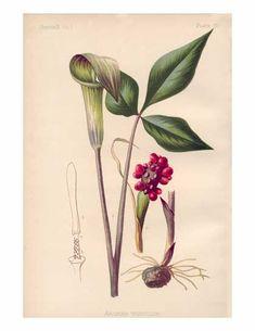 Arisaema triphyllum, Jack-in-the-Pulpit