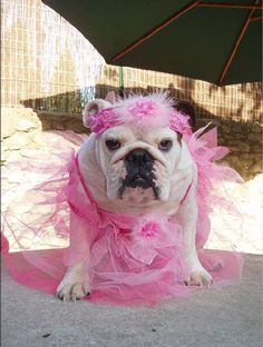 Bullerina's: Bulldogs as Ballerina's. Just as light footed and gracefull…