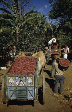 Costa Rica Coffee Harvest. ~~ Photo: National Geographic, One of Our Biggest Sources of Pride, Considered among many Experts, in the Top 3 Coffees in the World Come from Our Volcanic-Rich Soil to Produce Flavorful Beans, Robust, Gorgeous and Dark, Grab a Cup of Costa Rican Coffee@ Local Starbucks Promoting Sustainable Farms Here as Well ♥