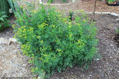 Common Rue, Ruta graveolens, Herb of Grace, 25 seeds - Butterfly Host Plant, Black Swallowtail butterfly - Drought tolerant