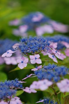 Hydrangea (from The Pill That Cures)