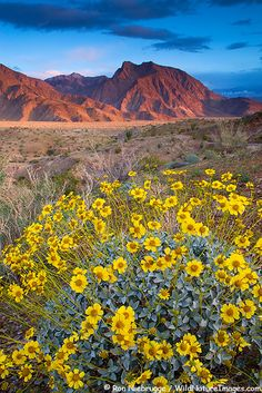 Looking into Hellhole Canyon with Brittlebush wildflowers, Anza-Borrego Desert State Park, California.  (Encelia farinosa) by Ron Niebrugge