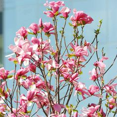 Saucer Magnolia - offers some of the most beautiful flowers of any tree. Its large blooms appear in shades of white, pink, and purple in mid- to late spring.  Test Garden Tip: Do some research before buying a magnolia to make sure you have the best selection for your climate. Some types, while hardy, suffer flower damage from late frosts.  Name: Magnolia x soulangeana  Size: To 20 feet tall and wide  Zones: 5-9
