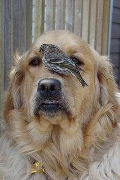 Dogs golden retriever, golden retrievers, pet birds, pet dogs, dog ca I Love Dogs, All Dogs, Best Dogs, Dogs And Puppies, Doggies, Animals And Pets, Funny Animals, Cute Animals, Unlikely Friends