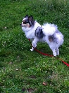 Don't mistake his white parti and blue merle coat for an Australian Shepherd, he's ALL pom