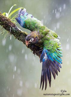 Cela nous rappelle que nos perroquets doivent prendre des douches pour leur santé et malheureusement peu ont cette possibilité :-(