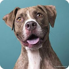 Pictures of Tibble a Boxer/Pit Bull Terrier Mix for adoption in Anniston, AL who needs a loving home.