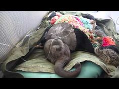 Two baby ostriches kept an injured baby elephant company during an airlift rescue operation that was taking them all to their new home at the David Sherldrick Wildlife Trust in Nairobi, Kenya. A ba...
