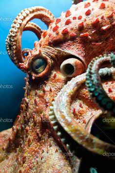 octopus with fin on it's head | remove long red octopus in catching octopus shower head