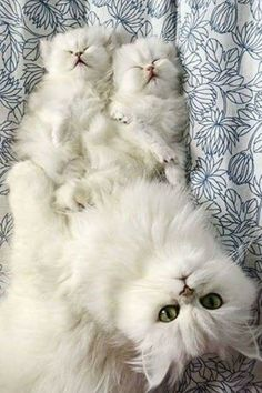 Mother and kittens #PersianCat