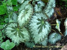 Photo of Rhizomatous Begonia, Fancy Leaf Begonia 'SIlver Queen'