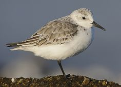 Sanderling, Identification, All About Birds - Cornell Lab of Ornithology