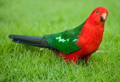 king parrot hd wallpapers | http://www.atozpictures.com/australian-king-parrot-pictures