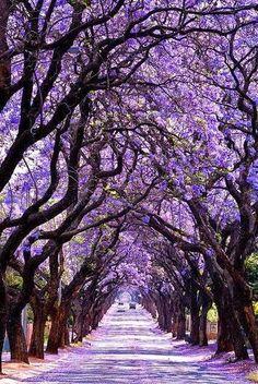 Jacaranda Tree Tunnel, Sydney, Australia. Stunning!