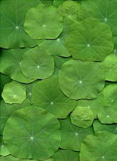 Can't wait for my nasturtiums to get big and bushy, they remind me of lily pads! World Of Color, Color Of Life, Go Green, Green Colors, Palette Verte, Terra Verde, Patterns In Nature, Shades Of Green, Mother Nature