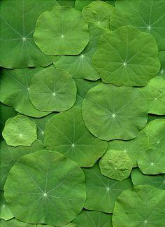 54647-01 Tropaeolum majus | por horticultural art