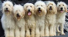Goldendoodle vs. Labradoodle: It's Truly All About Preference ...