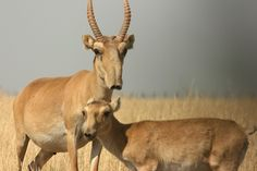 The critically endangered Saiga Antelope - now completely extinct in China and found only in small numbers in small patches of western Mongolia and Kazakhstan Baby Animals, Cute Animals, Unique Animals, Beautiful Creatures, Animals Beautiful, Living Fossil, Majestic Animals, Vale, Endangered Species