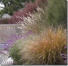 Evergreen Miscanthus is one of the prettiest and lowest-care grasses out there, with its reflective green year-round foliage and coppery pur...