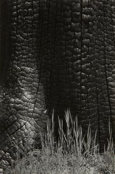 Ansel Adams - Burnt Stump and New Grass, Sierra Nevada, California, 1935 Ansel Adams Photography, Nature Photography, Ethereal Photography, Photography Lessons, Vintage Photography, Black And White Landscape, Black N White Images, Sierra Nevada, Famous Photographers