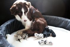 Bonnie and her 7 pups, born may 1st 2018 x #bordercollie