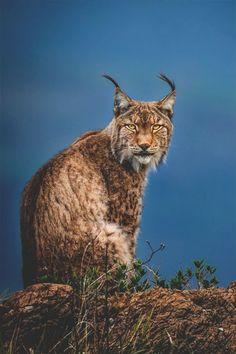 Lynx in the blue hour by Menno Dekker