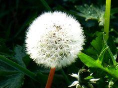 Dandelion - pissenlit