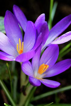 Crocus Flower:  you know spring is coming when you see these