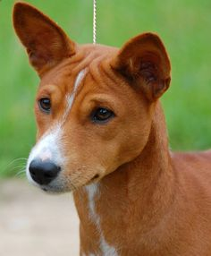 Basenji dog art portraits, photographs, information and just plain fun. Also see how artist Kline draws his dog art from only words at drawDOGS.com #drawDOGS http://drawdogs.com/product/dog-art/basenji-dog-portrait-by-stephen-kline/